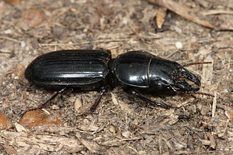 Big-headed Ground Beetle