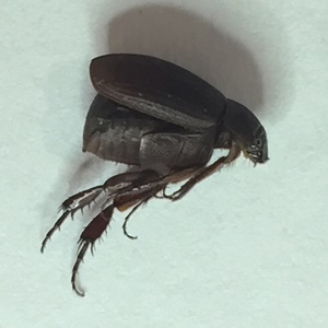 Brown Chafer