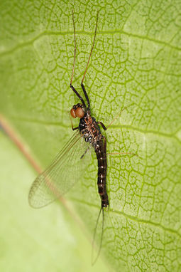 Burrower Mayfly