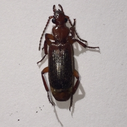 Flat-horned Ground Beetle