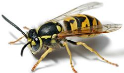 German Yellowjacket