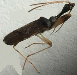Long-necked Seed Bug