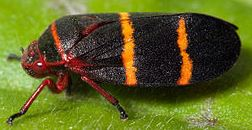 Two-lined Spittlebug